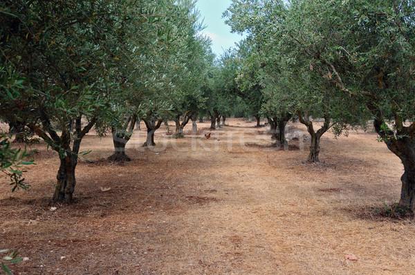 olive tree rows Stock photo © sirylok