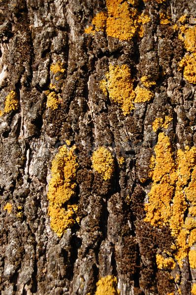Olajfa fa textúra citromsárga moha gomba absztrakt Stock fotó © sirylok