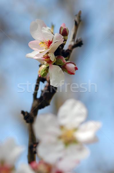 アーモンド ツリー つぼみ 花 詳細 ストックフォト © sirylok