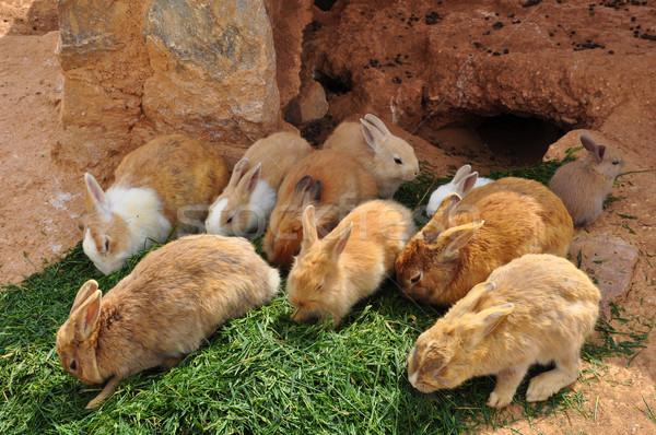 rabbits feeding on grass and rabbit hole Stock photo © sirylok