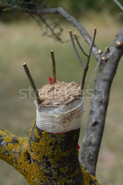 olive tree grafting Stock photo © sirylok