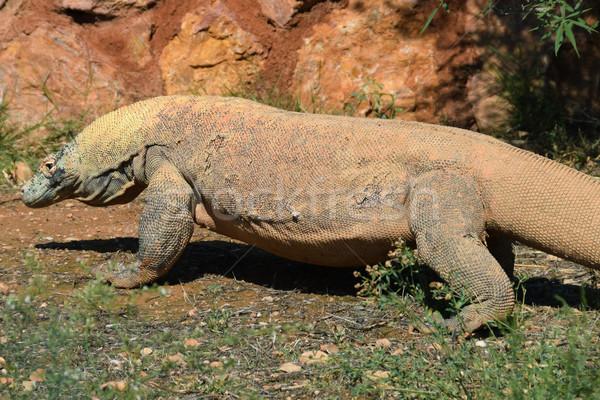 Smoka duży jaszczurka gad przyrody Zdjęcia stock © sirylok