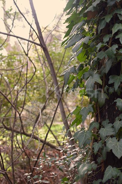 Vert lierre forêt plantes résumé Photo stock © sirylok