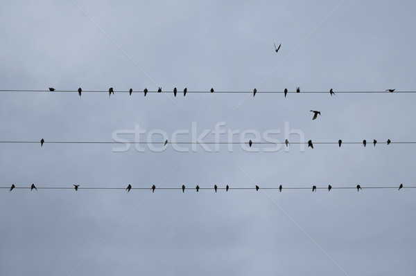 swallows perched on wires Stock photo © sirylok