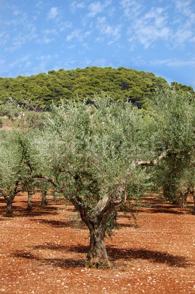 オリーブ 木 農園 島 ザキントス ギリシャ ストックフォト © sirylok