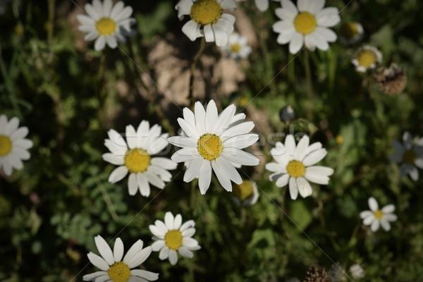 デイジーチェーン 花 春 自然 クローズアップ 抽象的な ストックフォト © sirylok
