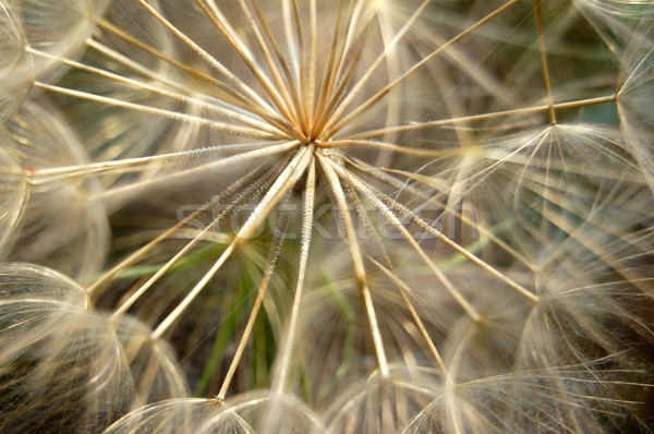 dandelion plant Stock photo © sirylok