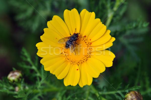 Volare fiore giallo nero primavera natura fiore Foto d'archivio © sirylok