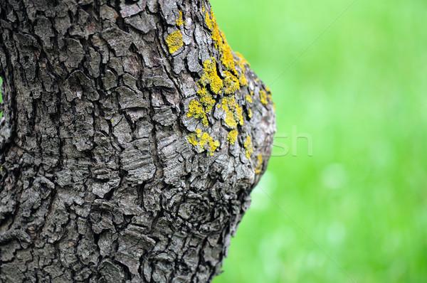 trunk detail Stock photo © sirylok