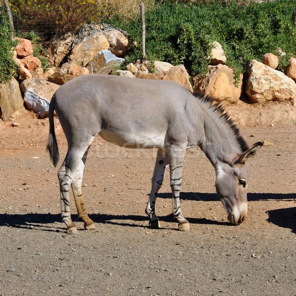 African selvatico ass zebra gambe Foto d'archivio © sirylok