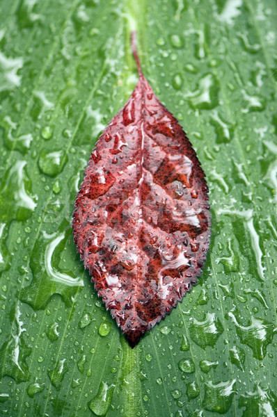 leaf raindrops Stock photo © sirylok