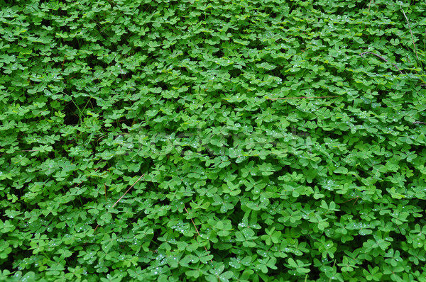 clover plant with rain drops Stock photo © sirylok