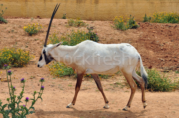 arabian oryx Stock photo © sirylok