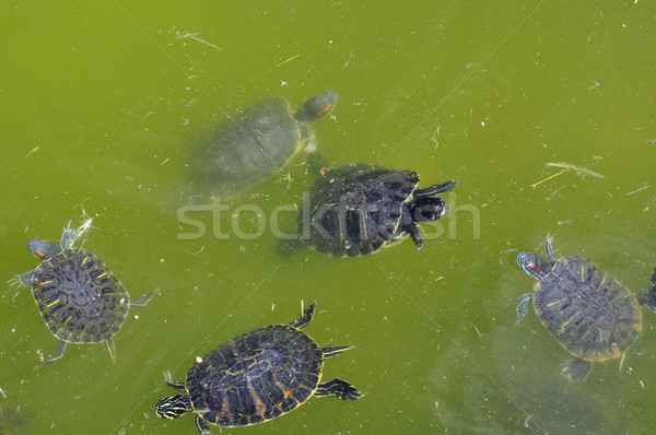 red-eared turtles Stock photo © sirylok
