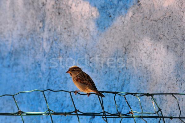 Wróbel mały ptaków posiedzenia ogrodzenia zwierząt Zdjęcia stock © sirylok