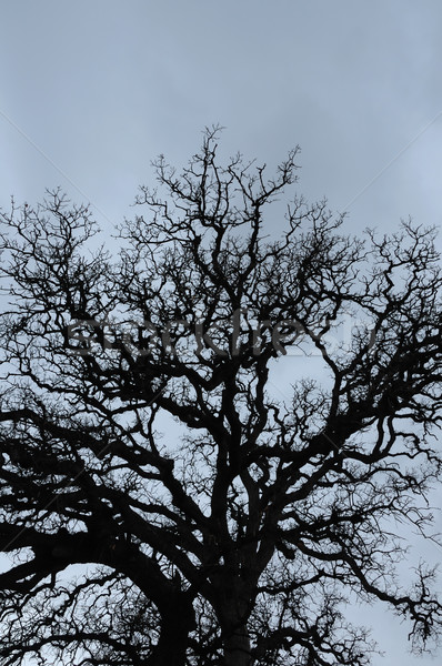 Chêne silhouette hiver ciel texture Photo stock © sirylok