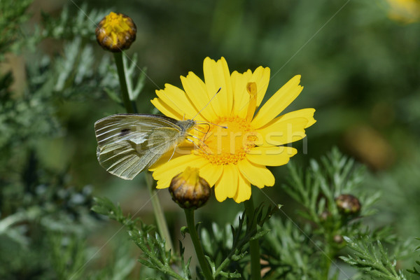 butterfly on yellow flower springtime nature Stock photo © sirylok