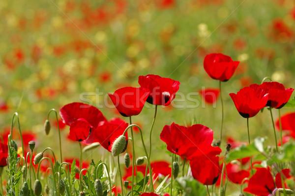 red flowers springtime nature Stock photo © sirylok