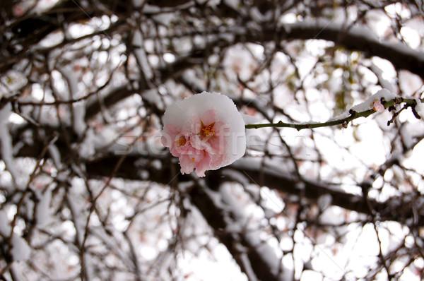plum tree blossom Stock photo © sirylok