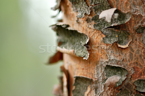 tree trunk macro Stock photo © sirylok