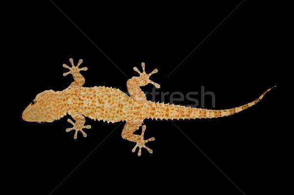 house gecko lizard Stock photo © sirylok