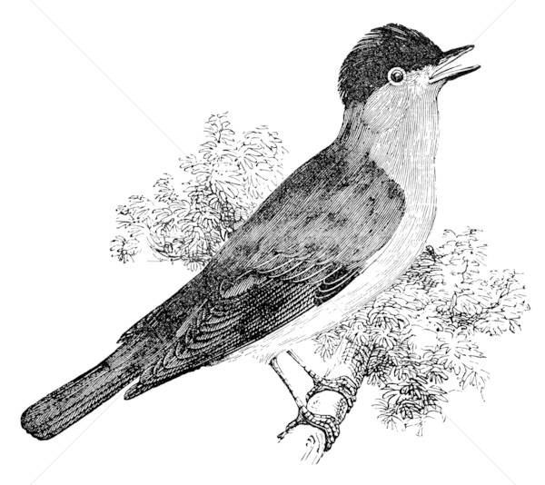 blackcap bird vintage illustration Stock photo © sirylok