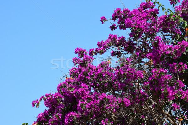 purple bougainvillea flowers Stock photo © sirylok