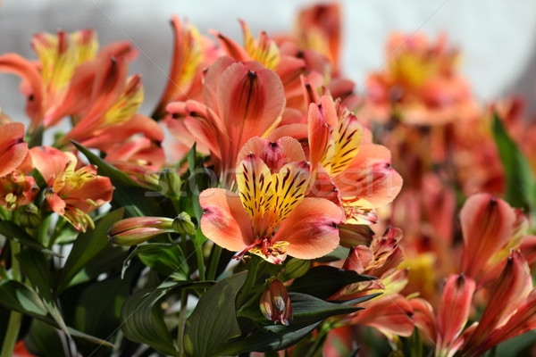 alstroemeria peruvian lily flowers Stock photo © sirylok