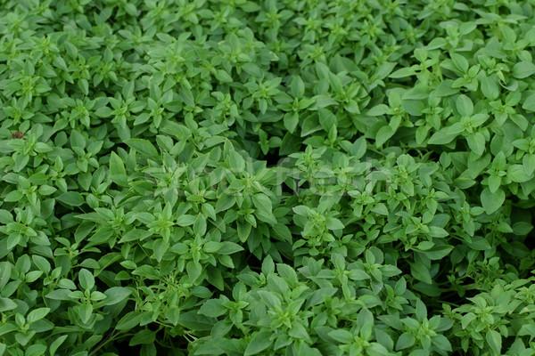 Basilicum bladeren culinair plant natuurlijke Stockfoto © sirylok