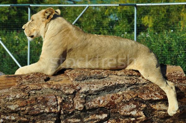 african lioness Stock photo © sirylok