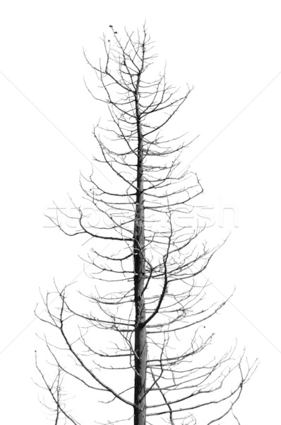 leafless tree Stock photo © sirylok