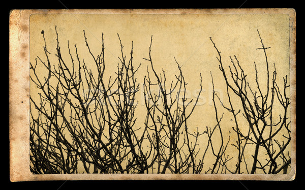 branches on vintage photo paper Stock photo © sirylok