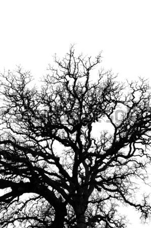 oak tree branches silhouette Stock photo © sirylok