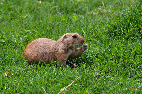 prairie dog rodent eating grass Stock photo © sirylok