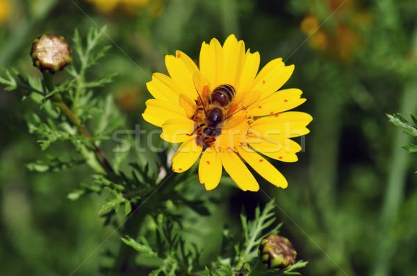 Bee wildflower voorjaar natuur blad Stockfoto © sirylok