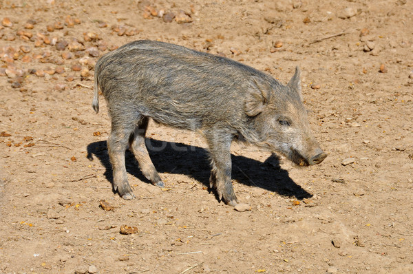 wild boar piglet Stock photo © sirylok