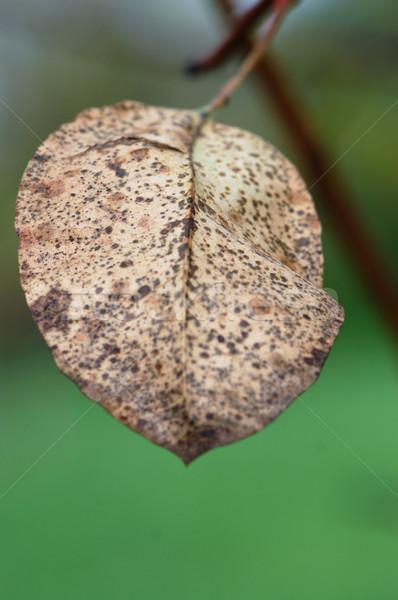 brown leaf Stock photo © sirylok