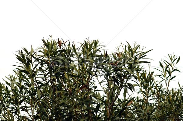 oleander leaves Stock photo © sirylok
