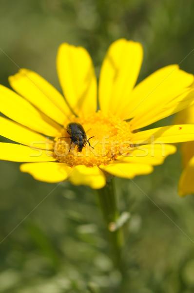 Preto besouro flor da primavera inseto flor amarela Foto stock © sirylok