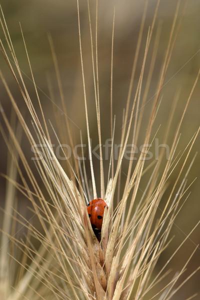 Joaninha inseto olhando algo bom comer Foto stock © sirylok