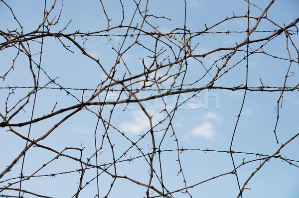 Vid alambre planta alambre de púas resumen Foto stock © sirylok