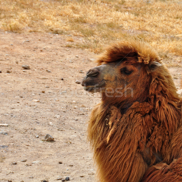 wild bactrian camel Stock photo © sirylok