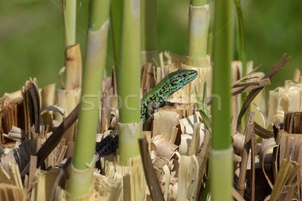 Zielone jaszczurka mały gad słońca Zdjęcia stock © sirylok