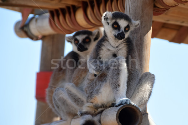 ring-tailed lemur Stock photo © sirylok