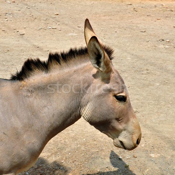 Stock fotó: Vad · fenék · veszélyeztetett · állat · hasonló · zebra