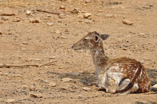 rhodian fallow deer Stock photo © sirylok