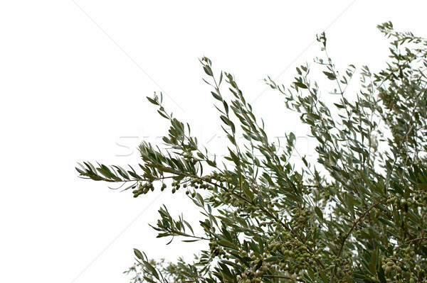 olive tree branches with olives Stock photo © sirylok