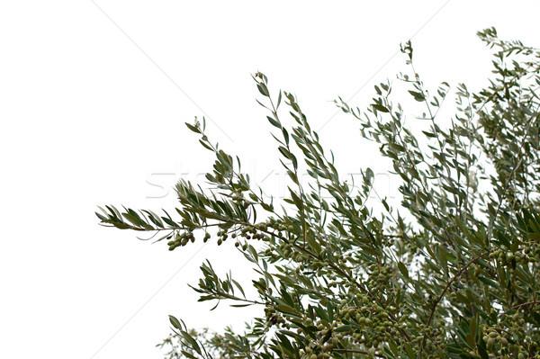 Olajfa ágak olajbogyók fehér levél háttér Stock fotó © sirylok