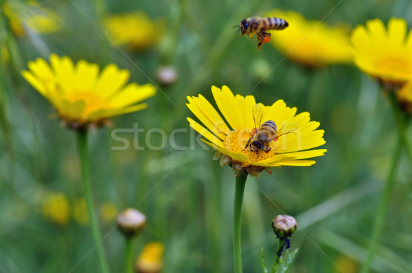 honey bees collecting pollen Stock photo © sirylok