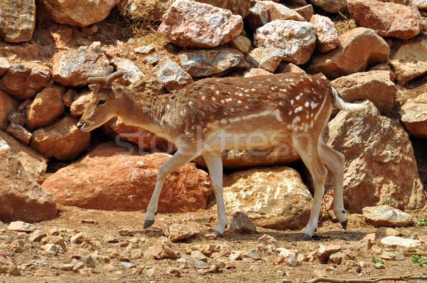 fallow deer Stock photo © sirylok